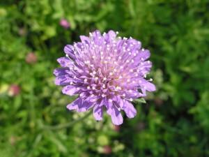 сивец луговой цветок крупный план
