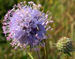 сивец луговой крупный план цветок и бутон