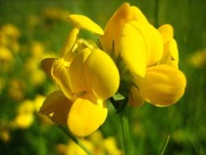 чина луговая - цветок крупный план