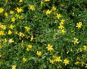 Жасмин кустарниковый - цветущий куст