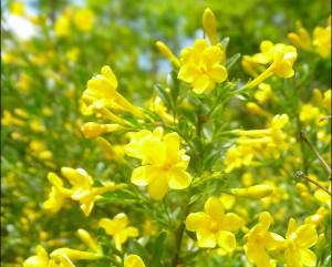 Жасмин жёлтый цветущий