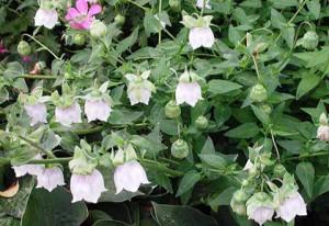 Кодонопсис ланцетный с цветами