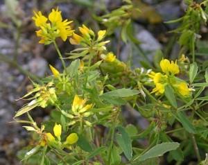 Пажитник сенной цветущее растение