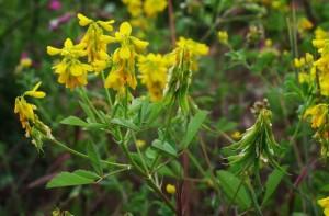 цветки шамбала