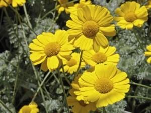 Пупавка благородная желтая цветки