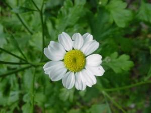 Пупавка благородная белый цветок