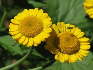 два цветка римской ромашки желтые крупный план