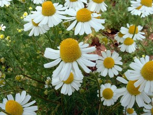 распустившиеся цветки пупавки благородной белые