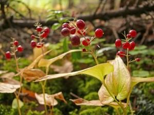 Майник двулистный плоды