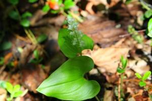 цветок майника в лесу