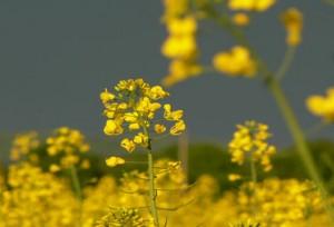 Горчица сарептская цветы