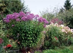 Посконник пурпурный в саду