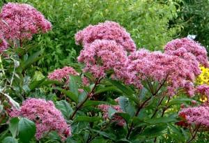 Посконник пурпурный цветущие растения