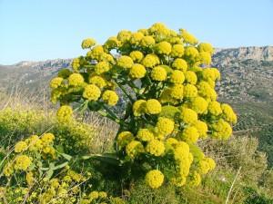 Ферула вонючая асафетида цветки крупный план