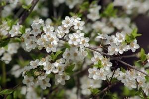 цветущие ветви терна
