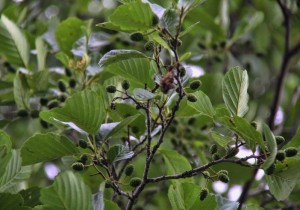 Ольха ветви с листьями и соплодиями