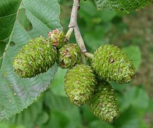 зеленые соплодия ольхи на ветке