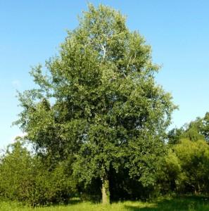 Осина обыкновенная дерево
