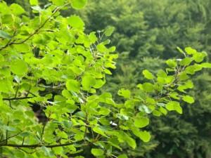 зеленые ветки осины