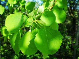 листья осины на солнце