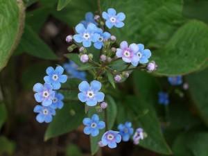 Незабудка полевая цветки крупный план