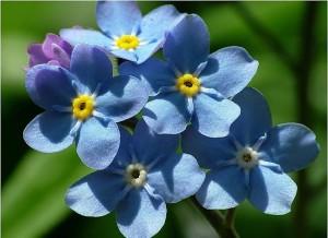 цветы незабудки крупным планом