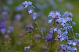 незабудка полевая стебель с цветками
