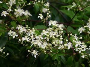 Ломонос виноградолистный цветущие ветви