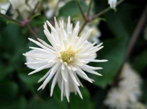 Ломонос виноградолистный цветок крупный план