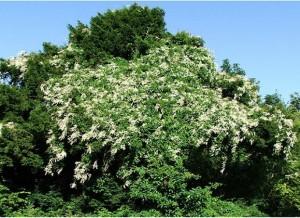 Ломонос виноградолистный цветущий кустраник