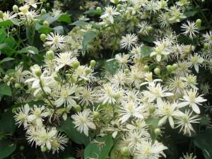Клематис виноградолистный цветущий