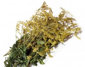 сухая трава золотарник канадский