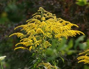 Золотарник канадский соцветие крупный план