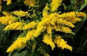 цветы золотарника крупный план