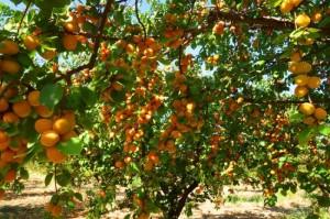 Абрикос дерево с плодами