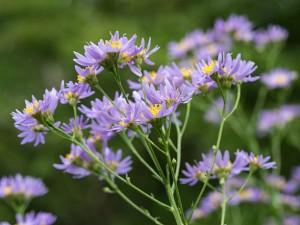 Астра татарская цветущее растение