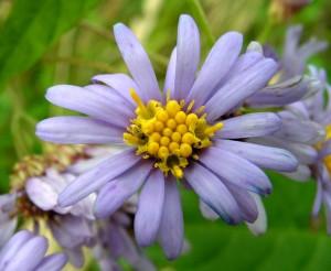 Астра татарская цветок крупный план