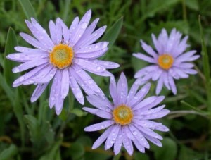 Астра татарская три цветка