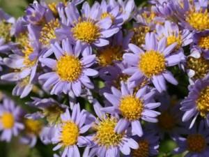 Астра татарская цветы в саду