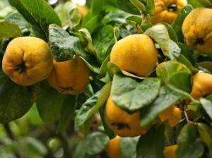 Айва обыкновенная дерево с плодами