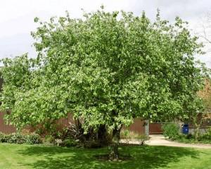 айва обыкновенная - дерево