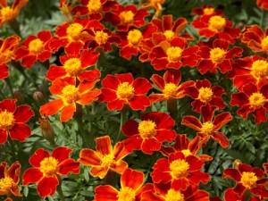 Бархатцы мелкоцветные в саду