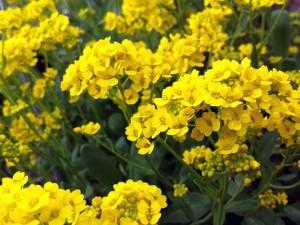 Алиссум скальный цветы крупный план