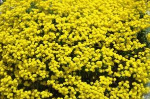 Алиссум скальный много цветов