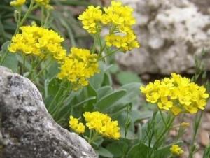 Алиссум скальный цветки на камнях цветки крупный план