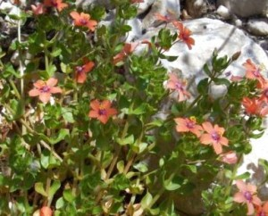 Очный цвет полевой красные цветки