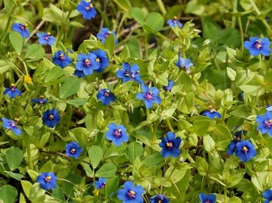 Очный цвет полевой синие цветки