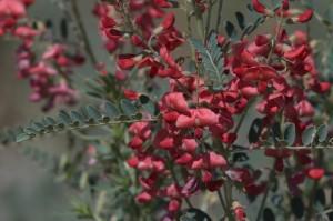 Сферофиза солонцовая растение цветущее