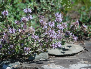Зизифора клиноподиевидная цветы
