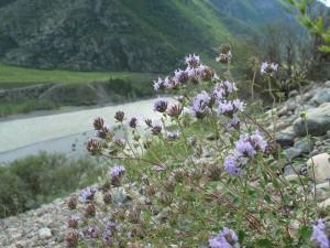 Зизифора клиноподиевидная в горах